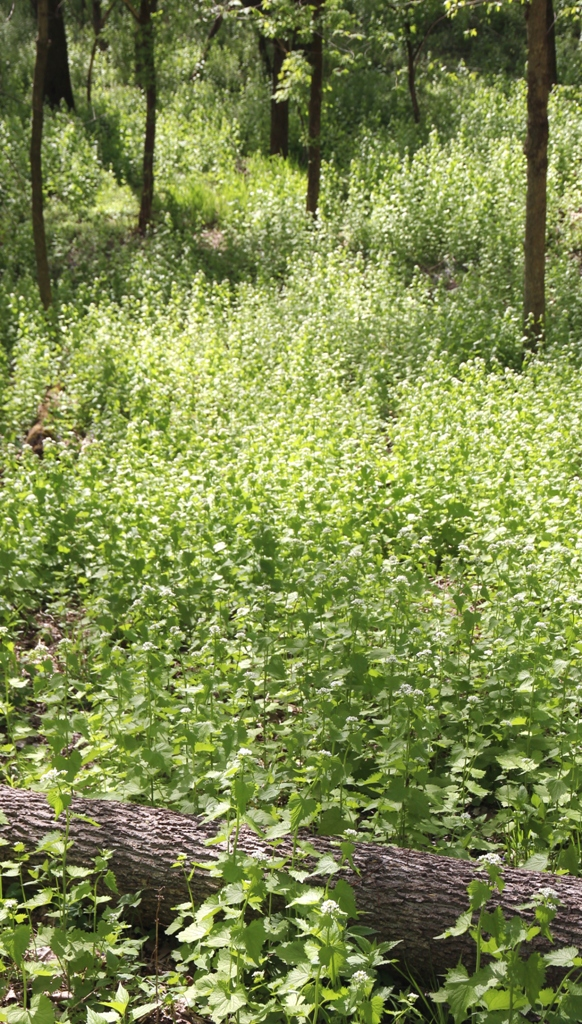 Garlic Mustard meadow