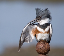 Belted Kingfisher Nick Chill