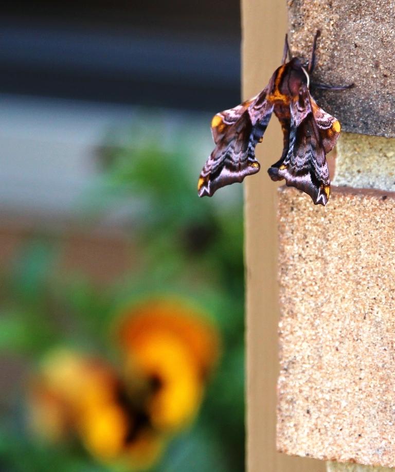 Moth Top View w Flower G.Stark
