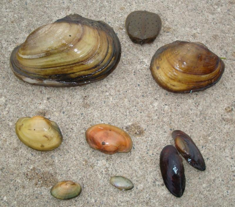 Mussel Variety at CVP Mussel Move Dave Kibbee