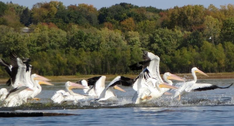 Pelicans Action Coralville Lois Albrecht