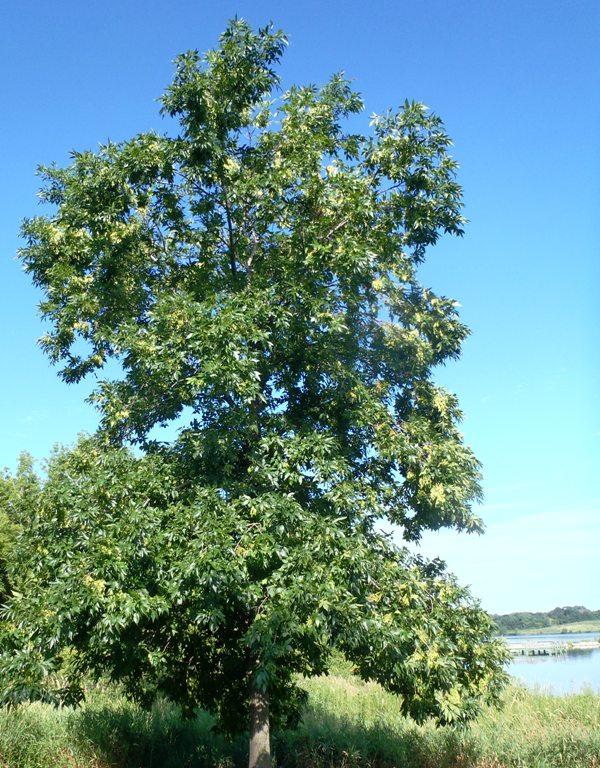 Ash Tree OA Pleasant Creek