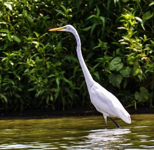 Egret Fishing Schoon