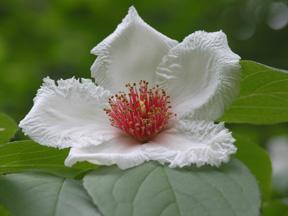 Stewartia 'Scarlet Sentinel'