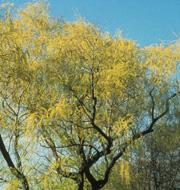 "Salix alba 'Vitellina"""