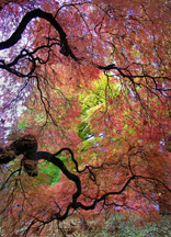 Under the Maples by Susan Bergin