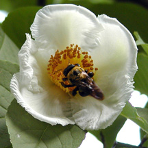 Japanese stewartia and bee