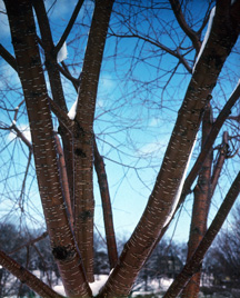 Prunus mackii