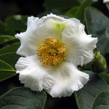 Stewartia pseudocamillia