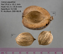 Water hickory nuts