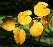 Roundleaf birch