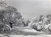 Lilac Path 1949