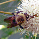 Bee and buttonbush