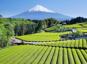 Mt Fuji Tea