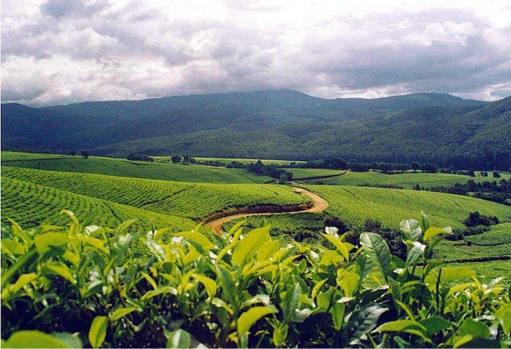 Makaibari Estate
