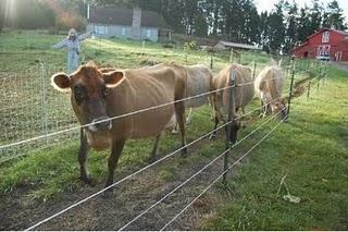Dairy Cows Heritage Farm