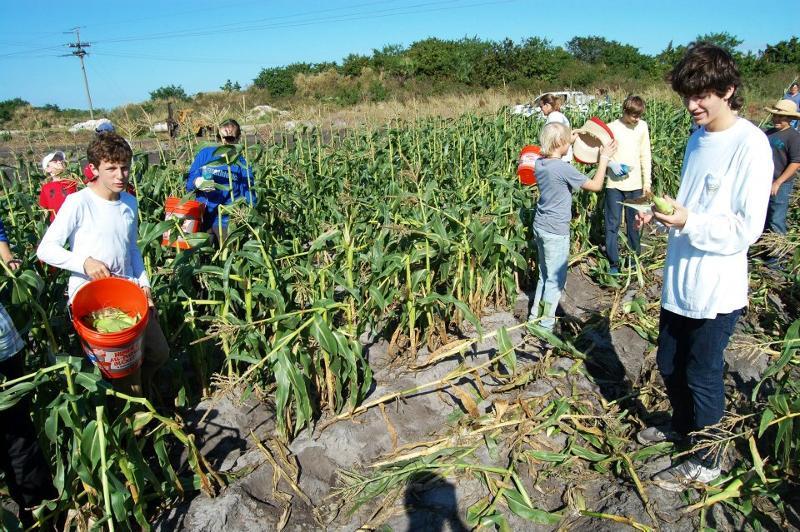 Gleaning Corn
