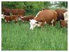 Heifers on Grassland