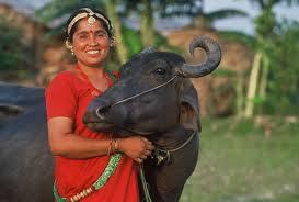 Water Buffalo Nepal