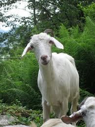 Dairy goat Nepal