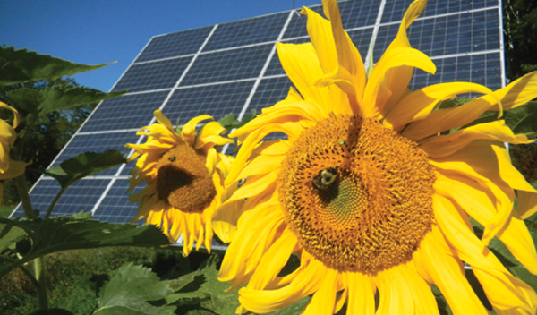 Sunflowers in front of solar arrays