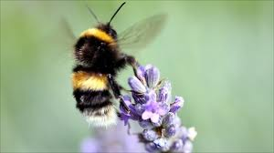 bee close up on lavender