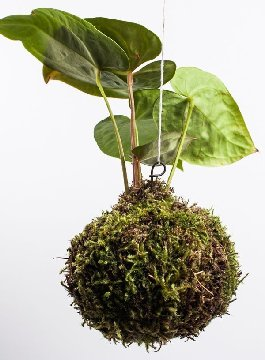 Picture of a moss ball hanging planter