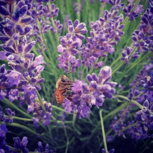 Bee on flowers - Botanical Interests Seeds