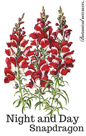 Night and Day Snapdragon seed pack image from Botanical Interests