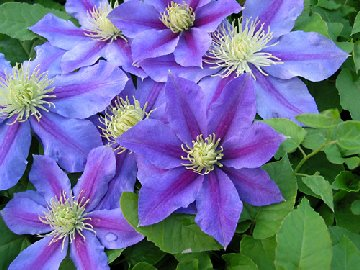Clematis blooms and leaves