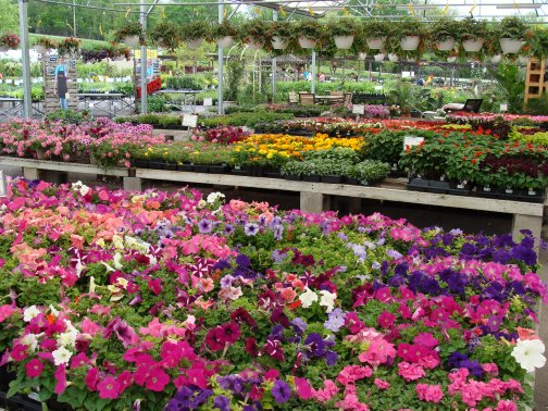 Bedding plants in the open bay greenhouse - with hanging baskets and the nursery lot in the background at Hillermann Nursery and Florist
