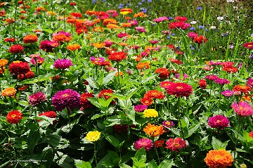 Zinnea flowerbed with various colors