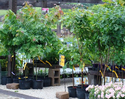 Burr Oak and Northern Red Oak trees available on the Nursery Lot at Hillermann Nursery and Florist