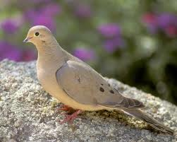 Picture of a Mourning Dove