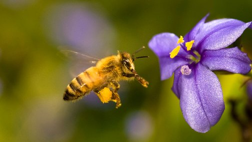 Picture of a honey bee flying to a flower