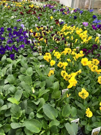 Pansy plants available at Hillermann Nursery and Florist
