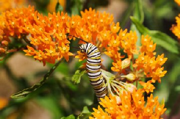 Caterpillar on Butterfly weed plant
