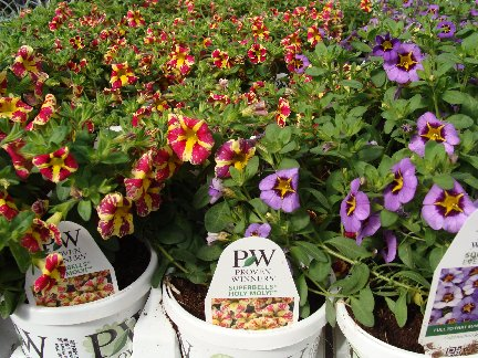 Superbell flower plants avaialble at Hillermann Nursery and Florist