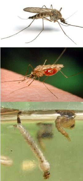 Mosquitoes - Adult, feeding and larvae