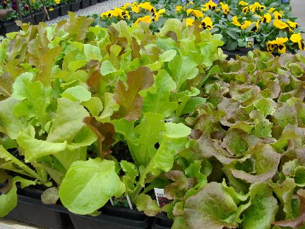 Lettuce plants available at Hillermann Nursery and Florist