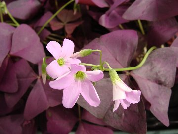 Purple shamrock plant with pink flowers available at Hillermann Nursery and Florist