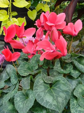 Cyclamen plant leaves and blooms
