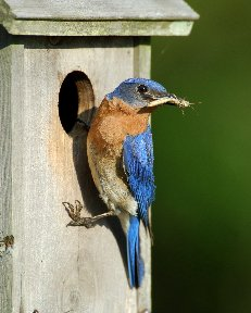 Bluebird at its nest box
