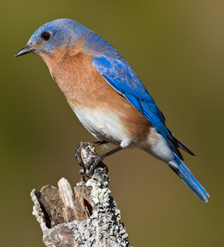 Picture of an Eastern Bluebird