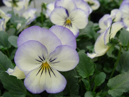 Pretty white viola blooms with purple edges at Hillermann Nursery and Florist