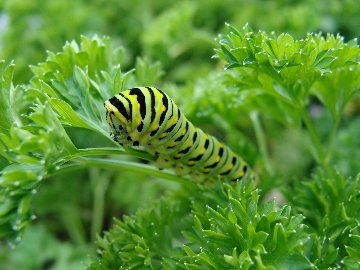 Swallowtail butterfly caterpillar on parsley at Hillermann Nursery and Florist