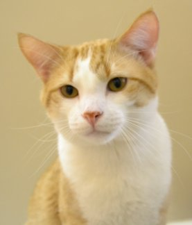 Adoptable cat Rocksteady at Franklin County Humane Society