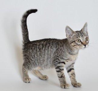 Adoptable kitten Tiana from Franklin County Humane Society