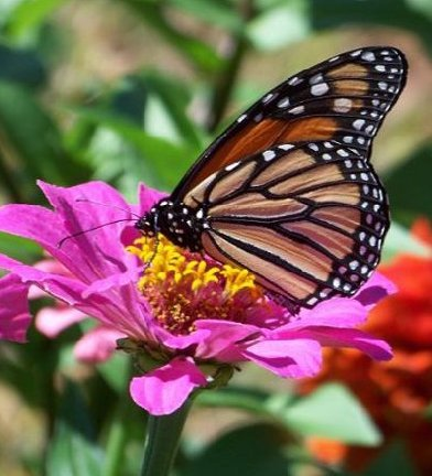 Monarch butterfly on zinnia flower bloom