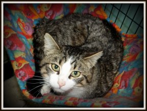 Adoptable cat Fenway from Franklin County Humane Society